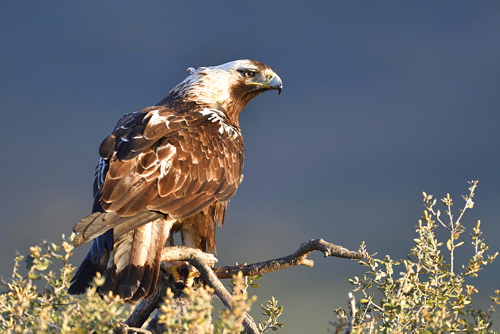 Spanish imperial eagle (Aquila adalberti) sits on a Holm Oak (Quercus ilex), Castilla y Leon, Spain, Europe