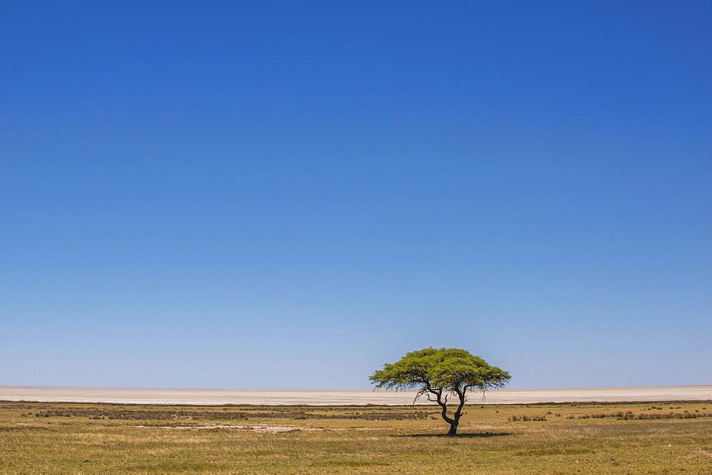 Grassland with umbrella thorn acacia in front of salt pan, Etosha National Park, Namibia, Africa