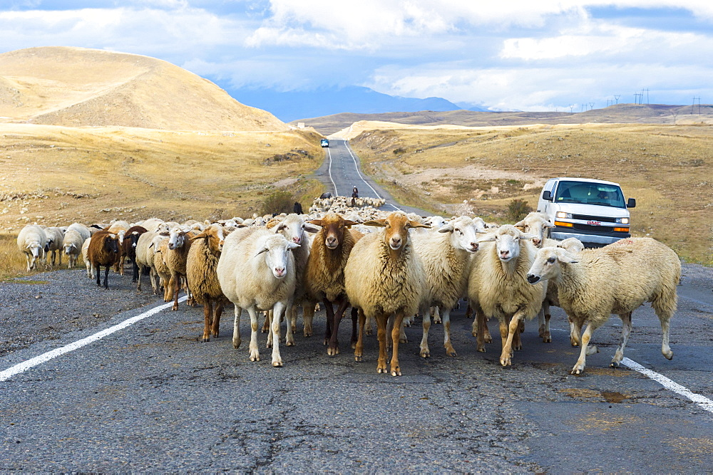Shephard conducting a group of sheep down a road, Tavush Province, Armenia, Asia