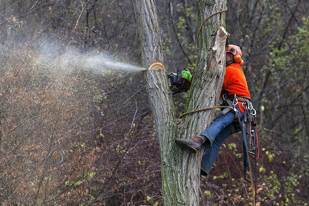 Forestry work, man saws off a branch, Rhein-Neckar-Kreis, Baden-Württemberg, Germany, Europe
