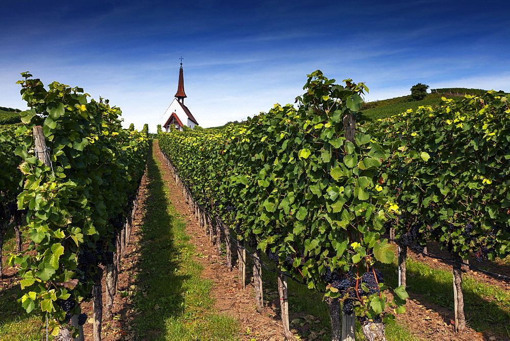 Eichert Chapel in the vineyards, Jechtingen, Kaiserstuhl, Baden-Württemberg, Germany, Europe