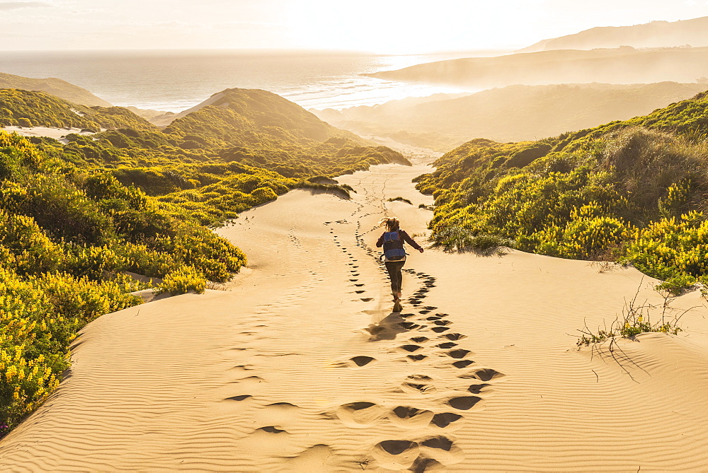Woman running down dunes, sand dunes with yellow lupines (Lupinus luteus), Sandfly Bay, Dunedin, Otago Region, Otago Peninsula, Southland, New Zealand, Oceania