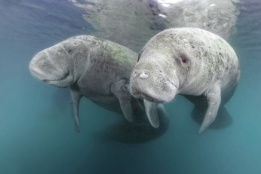 Two West Indian manatees (Trichechus manatus), couple, Three Sisters Springs, manatee sanctuary, Crystal River, Florida, USA, North America