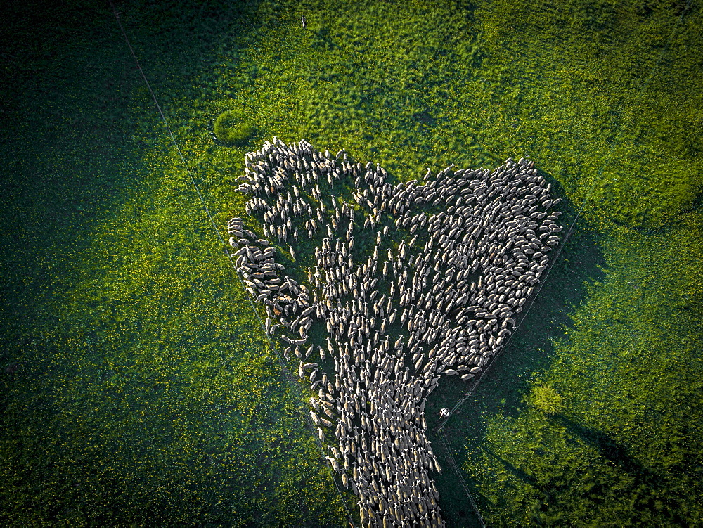 Aerial view of a flock of sheep during the transhumance in the Soria region, Arévalo de la Sierra, Castilla y León, Spain, Europe