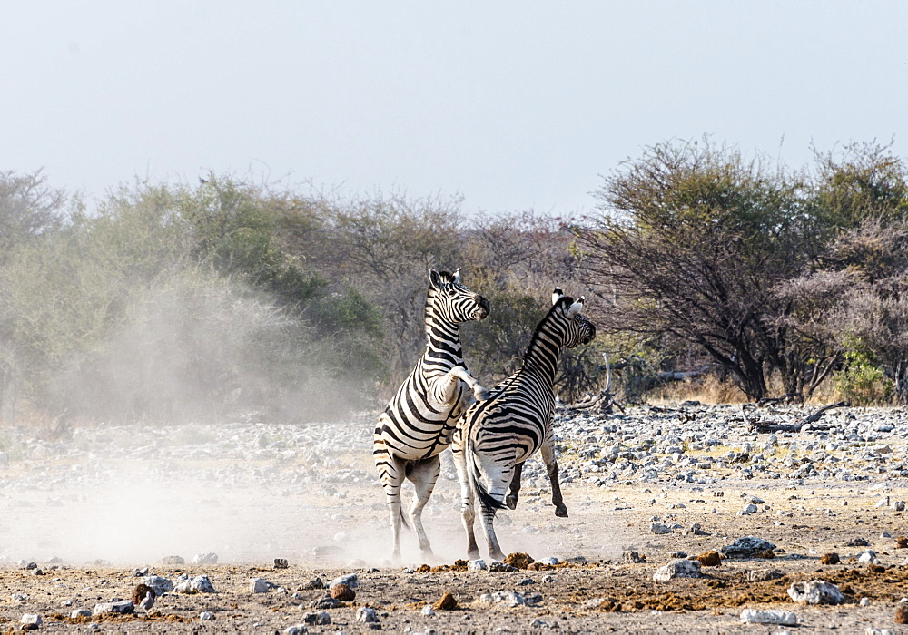 Two fighting Burchell's Zebras, (Equus quagga burchellii), Etosha National Park, Namibia, Africa