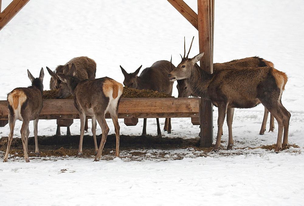 Deer at feeding station, wild feeding in winter, Upper Bavaria, Bavaria, Germany, Europe