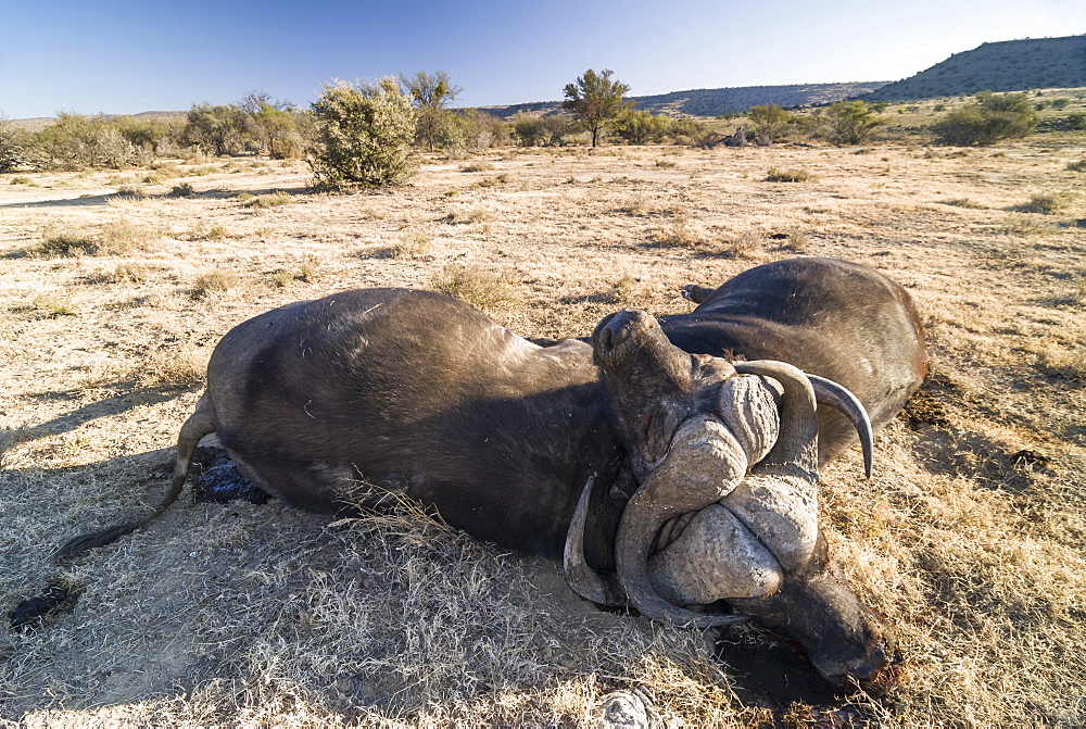 Two dead African Buffalos or Cape Buffalos (Syncerus caffer), with broken necks after a fight, Mountain Zebra National Park, Eastern Cape, South Africa, Africa