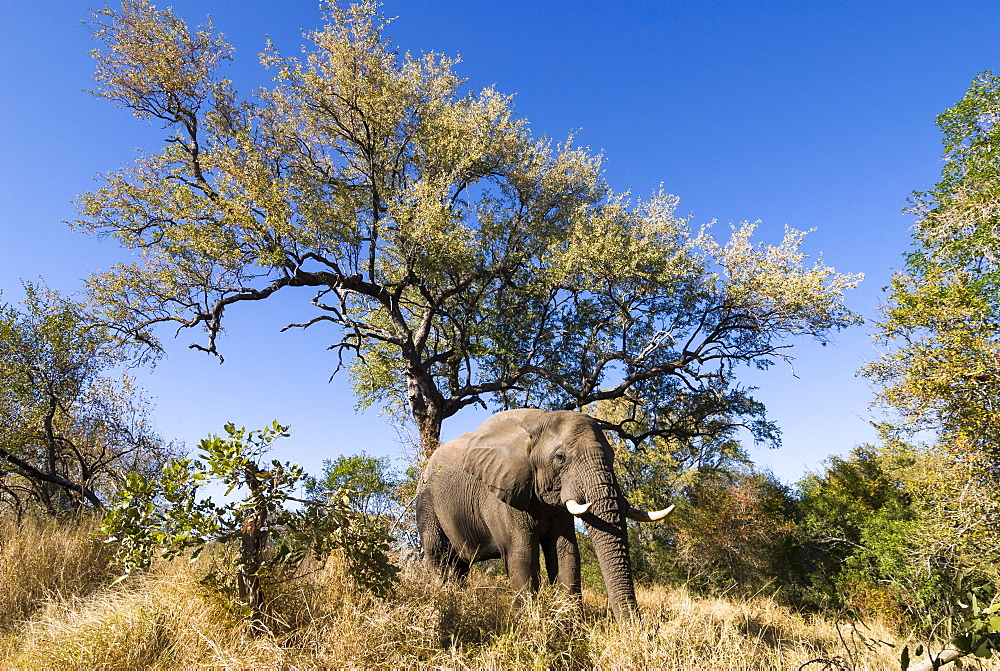 African Elephant (Loxodonta africana), Kruger National Park, South Africa, Africa
