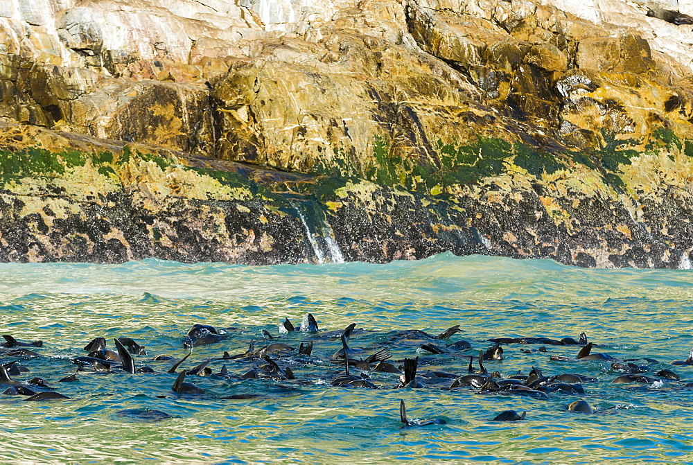 Harbor seals (Phoca vitulina), Plettenberg Bay, Garden Route, District Eden, Western Cape, South Africa, Africa