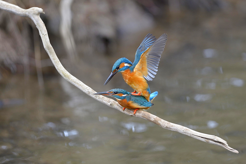 Kingfishers (Alcedo atthis), copula, Swabian Alb biosphere reserve, Baden-Württemberg, Germany, Europe