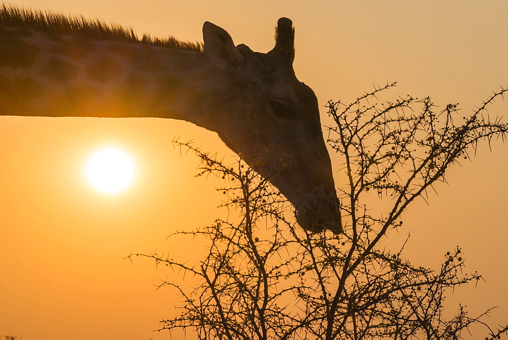 Giraffe (Giraffa camelopardis) feeding on camel thorn tree, Etosha National Park, Namibia, Africa
