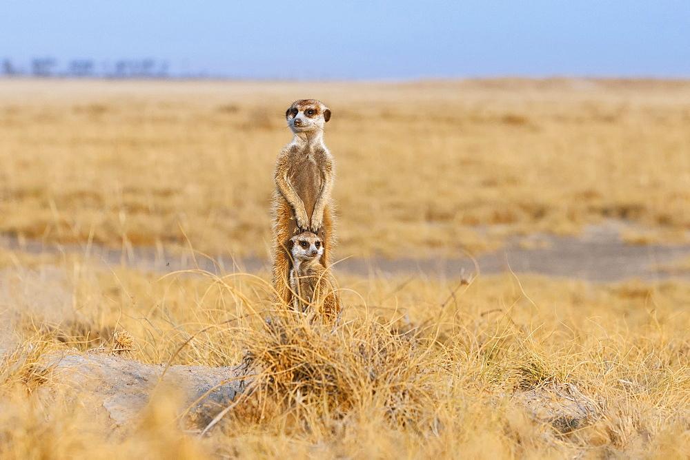 Two Meerkats (Suricata suricatta), adult and cub, alert, Makgadikgadi Pan, Botswana, Africa