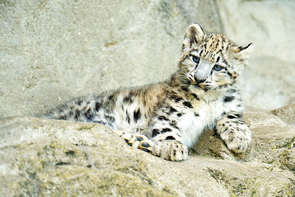 Young Snow Leopard (Panthera uncia), captive