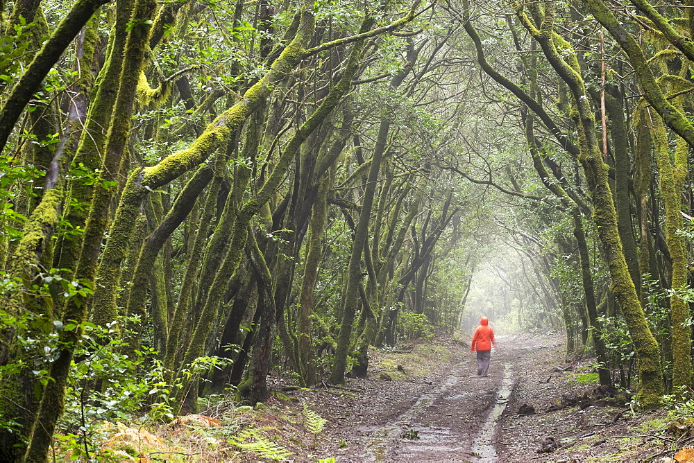 Track in the cloud forest, laurel forest, Garajonay, La Gomera, Canary Islands, Spain, Europe