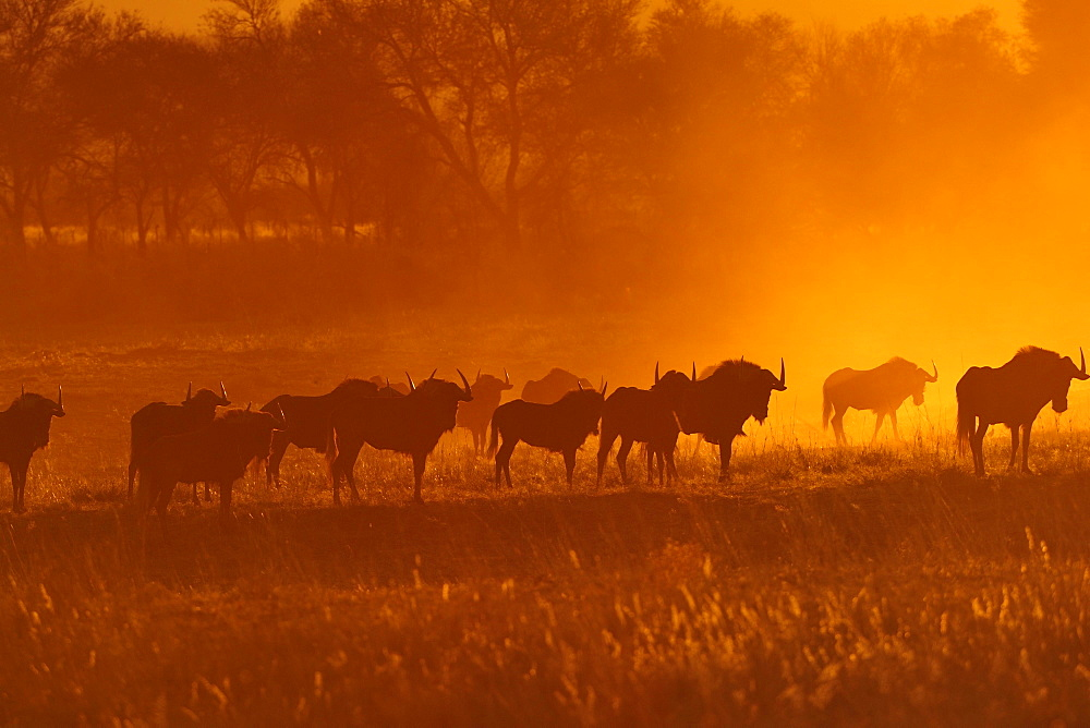 Herd of Blue wildebeests (Connochaetes taurinus), silhouettes during sunset, Otjozondjupa region, Namibia, Africa