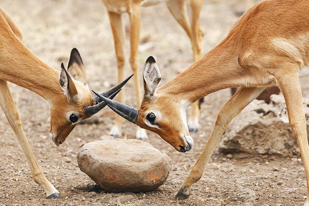 Two Impalas (Aepyceros melampus), fighting, Botswana, Africa