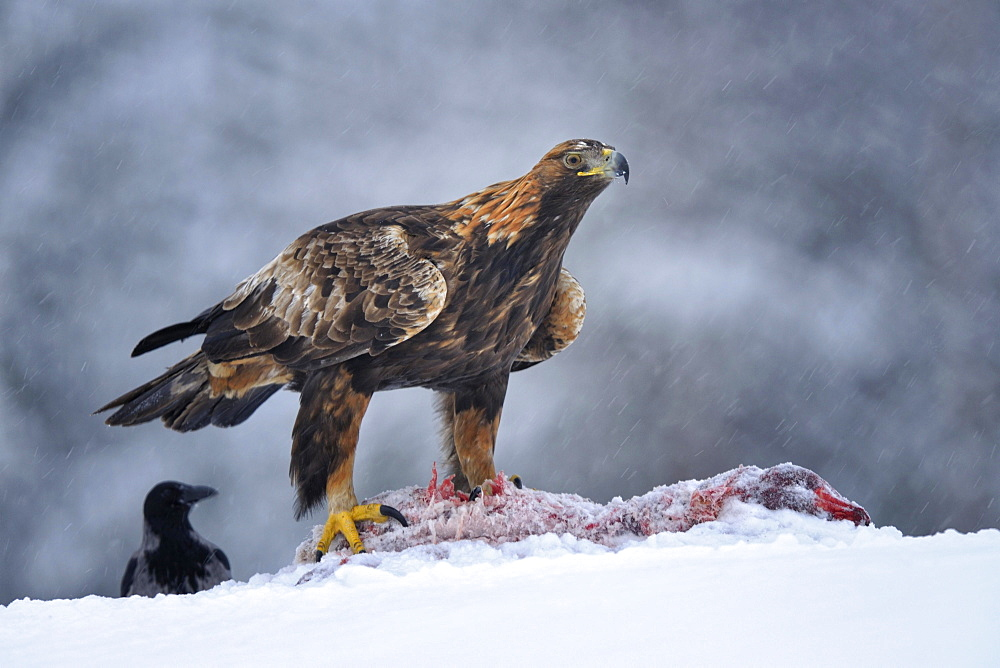 Golden Eagle (Aquila chrysaetos) with bait and a Hooded Crow (Corvus corone cornix) during a blizzard, Kainuu, Utajärvi, Nordfinnland, Finland, Europe