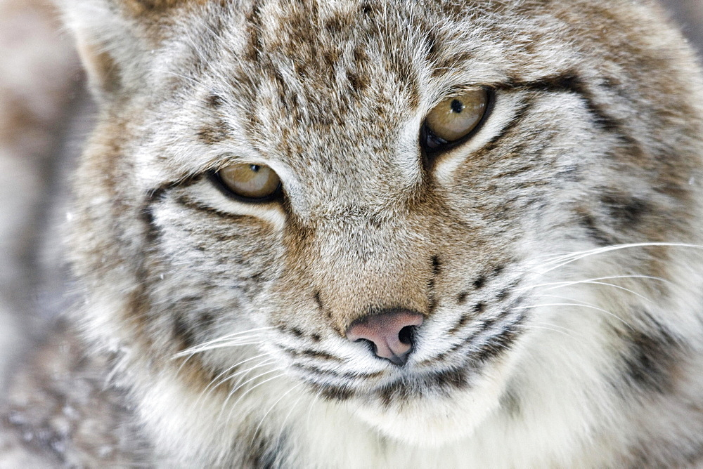 Portrait of a Eurasian Lynx (Lynx lynx), Hesse, Germany, Europe