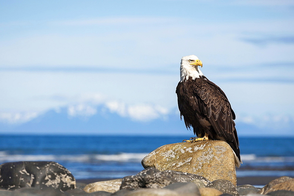 Bald Eagle (Haliaeetus leucocephalus) on the beach of Anchor Point, Kenai Peninsula, Alaska, United States, North America