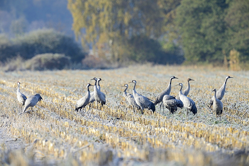 Cranes (Grus grus) foraging in a corn field in the morning, Tiste Bauernmoor, Burgsittensen, Lower Saxony, Germany, Europe