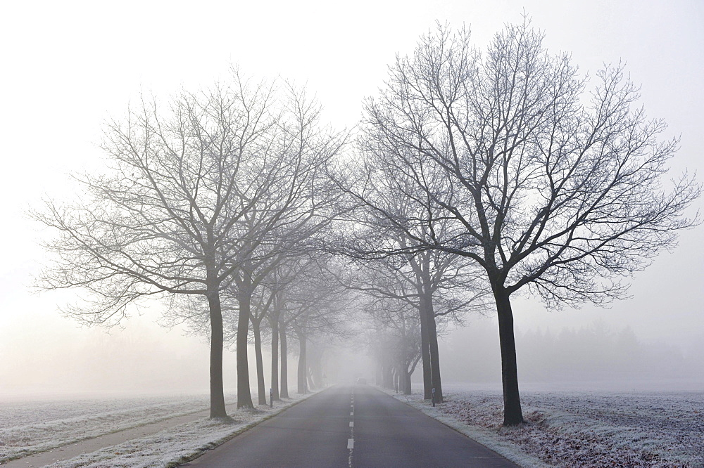 Tree-lined avenue in mist
