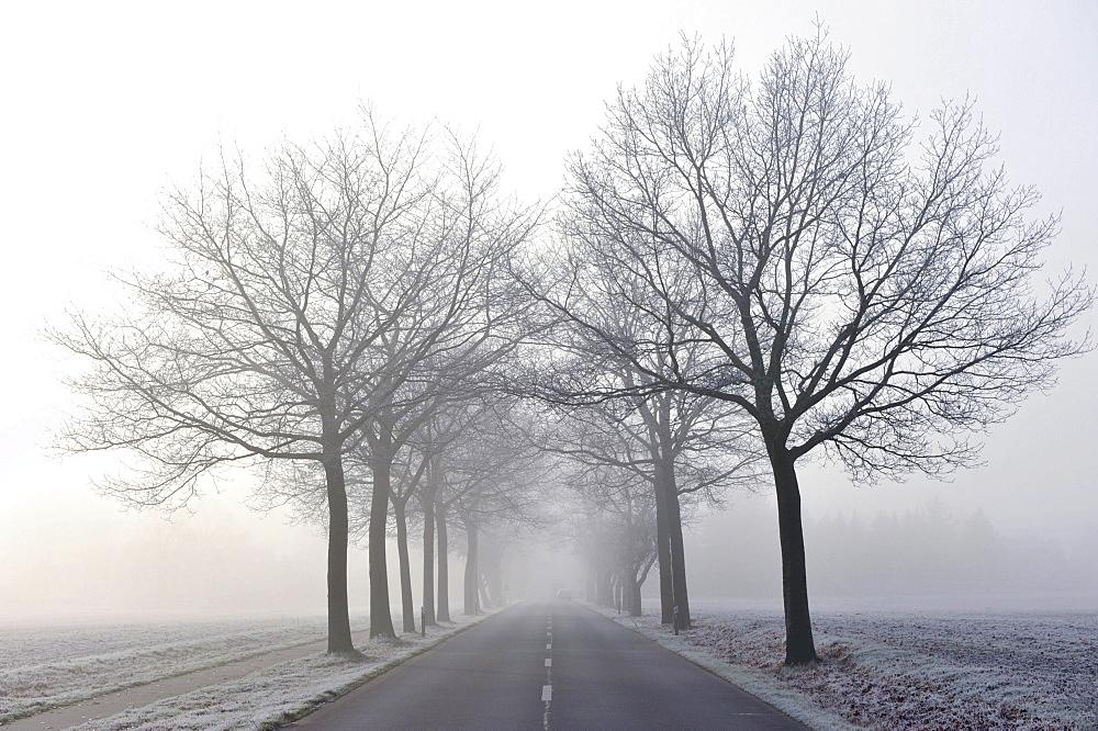 Tree-lined avenue in mist - 832-381569