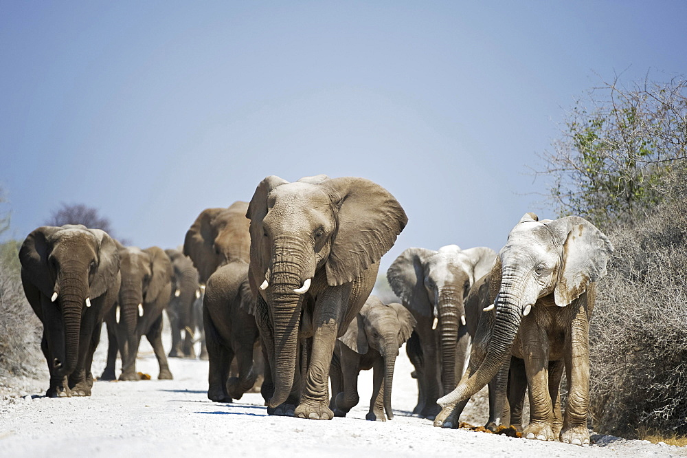 A herd of African Elephants (Loxodonta africana) walking on dirt road, Etosha National Park, Namibia, Africa