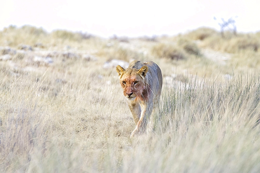 Lion (Panthera leo), sub-adult male walking through grass, Etosha National Park, Namibia, Africa