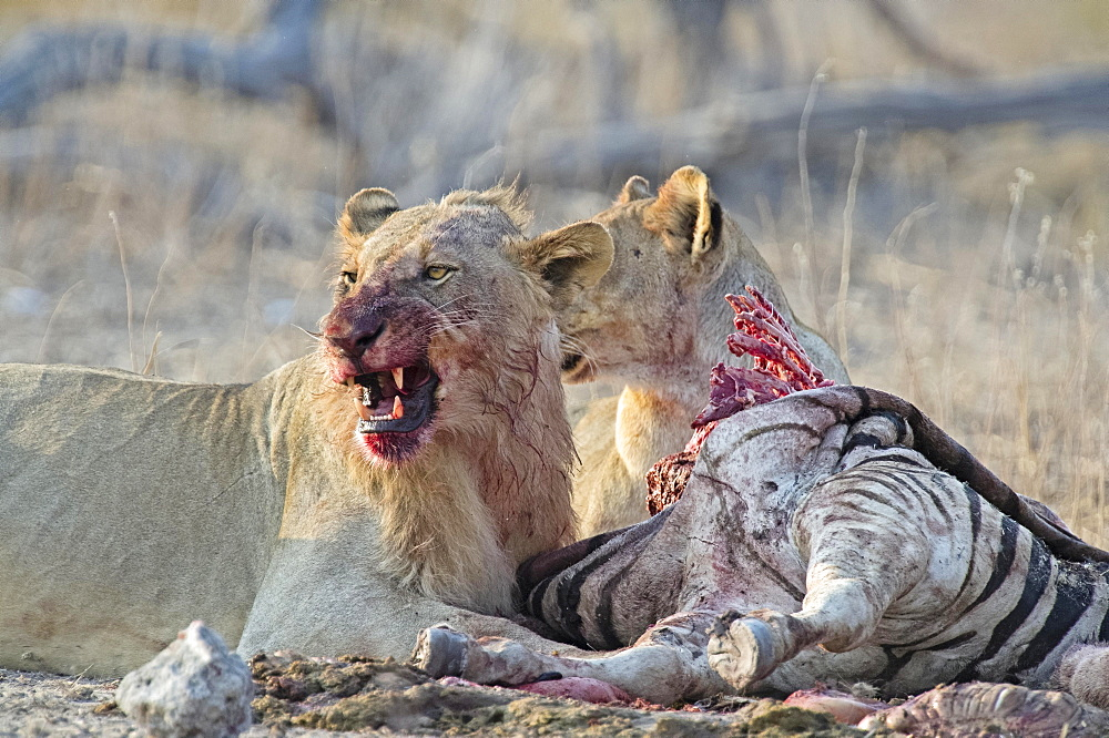Two Lions (Panthera leo), bloodstained, feeding from Burchell's Zebra (Equus quagga burchellii) carcass, Etosha National Park, Namibia, Africa