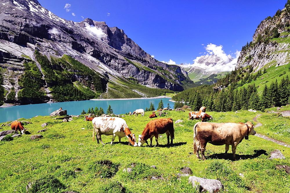 Grazing cows on Oeschinensee, UNESCO World Heritage Site, Kandersteg, Canton of Bern, Switzerland, Europe