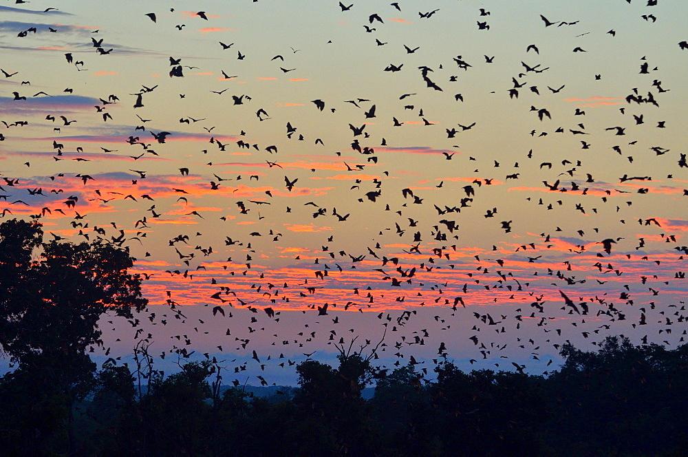 Straw-coloured Fruit Bats (Eidolon helvum), in flight at first light, Kasanka National Park, Zambia, Africa
