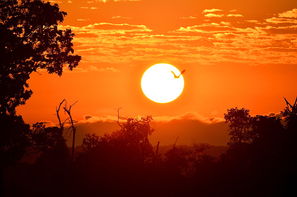 Straw-coloured Fruit Bat (Eidolon helvum), in flight at sunrise, Kasanka National Park, Zambia, Africa
