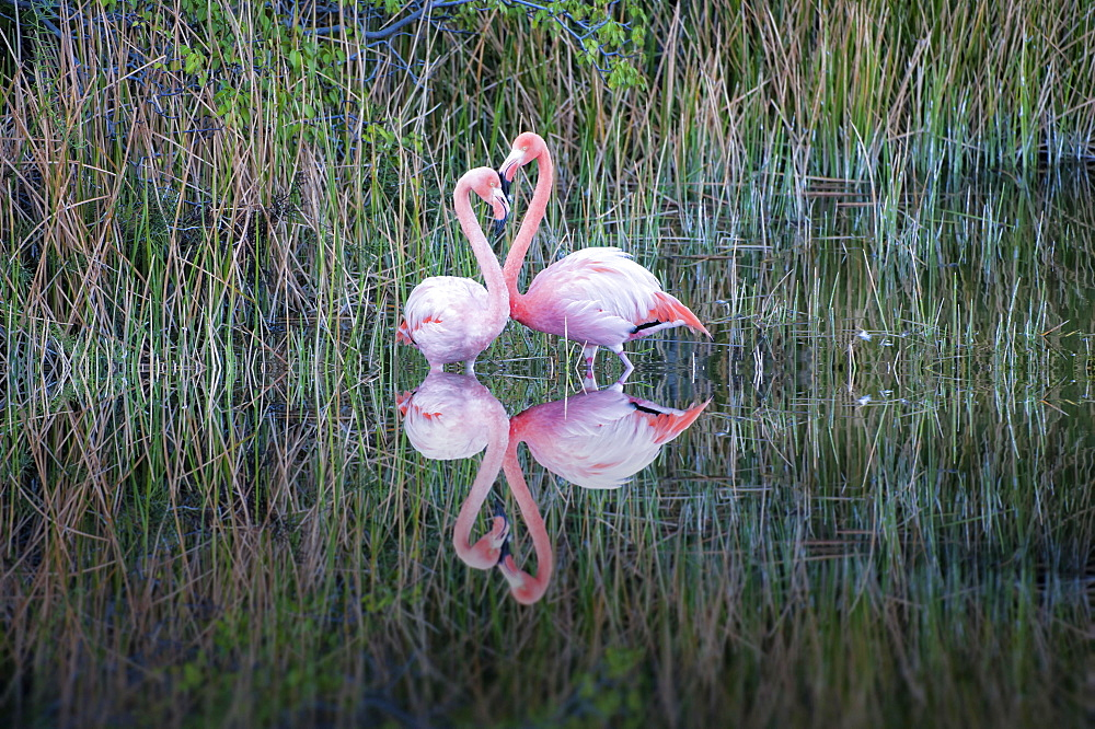 Pair of Greater Flamingos or American Flamingos (Phoenicopterus ruber), Punta Morena, Isabela Island, Galapagos, Ecuador, South America