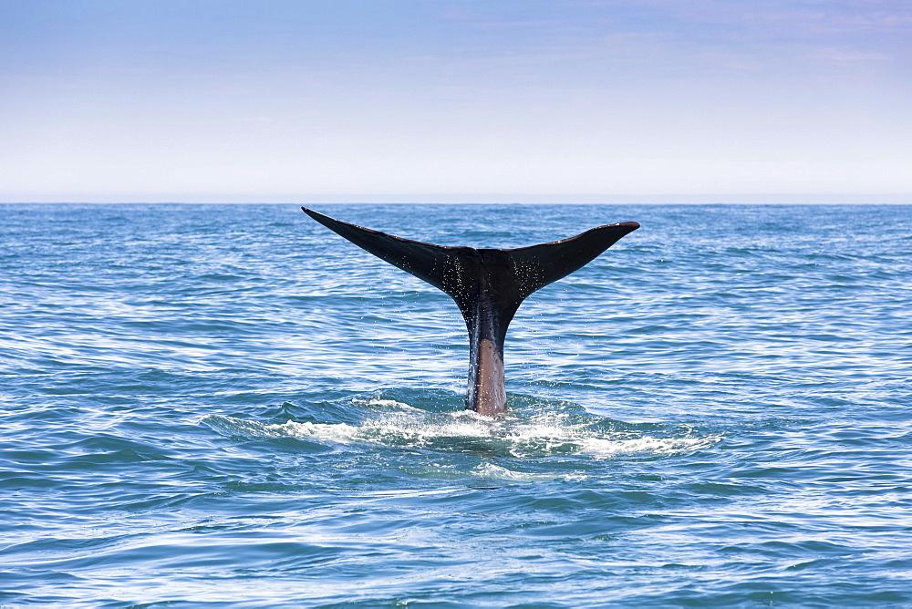 Fluke of a Sperm Whale (Physeter macrocephalus) while diving, Kaikoura, Canterbury Region, New Zealand, Oceania