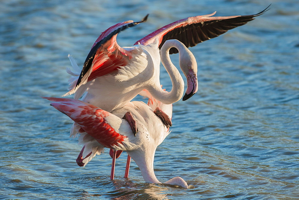 Greater Flamingo (Phoenicopterus roseus), pair mating, copula, Camargue, Southern France, France, Europe