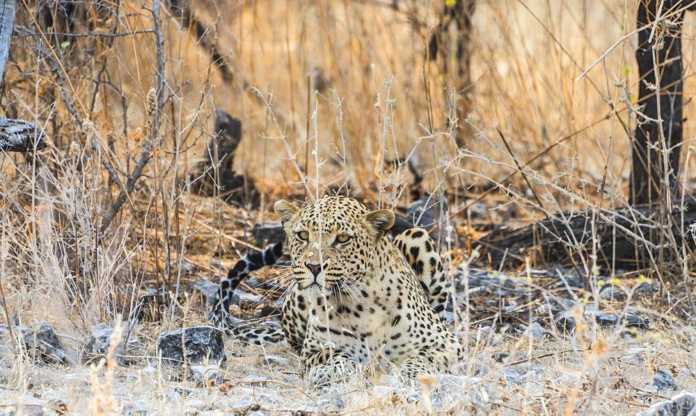 Leopard (Panthera pardus) lying camouflaged on stony ground, Etosha National Park, Namibia, Africa