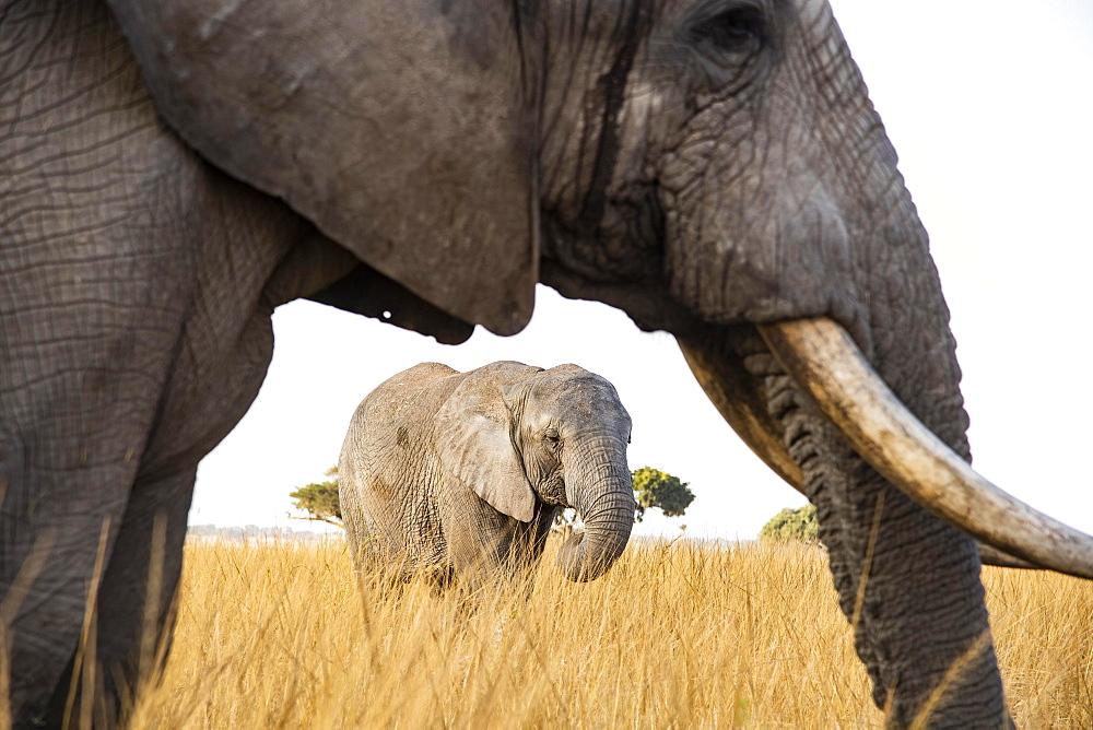 African elephants (Loxodonta africana), Imire Wildlife Conservation, Zimbabwe, Africa