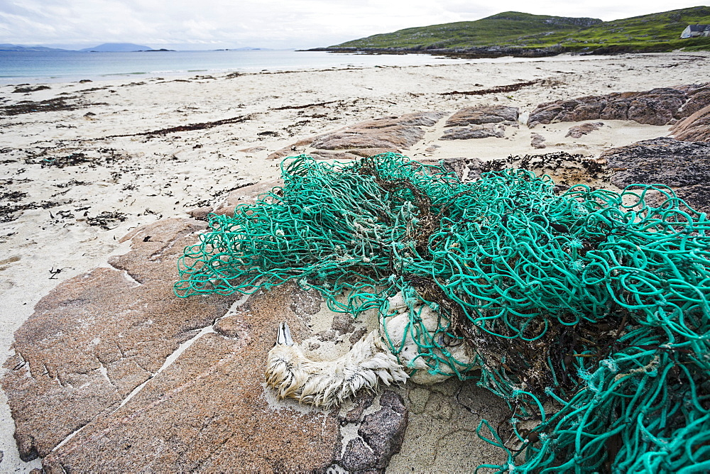 Gannet (Morus bassanus), dead after being tangled in fishing net, Hushinish, Isle of Harris, Scotland