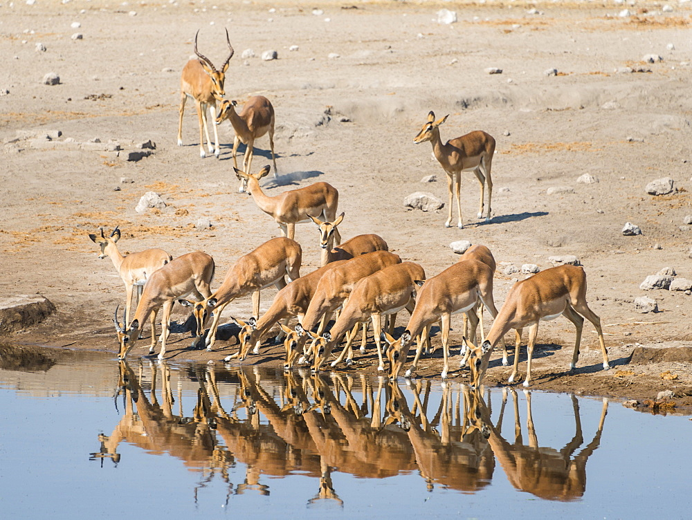 Herd of Black-faced Impalas (Aepyceros melampus petersi) drinking, Chudop water hole, Etosha National Park, Namibia, Africa