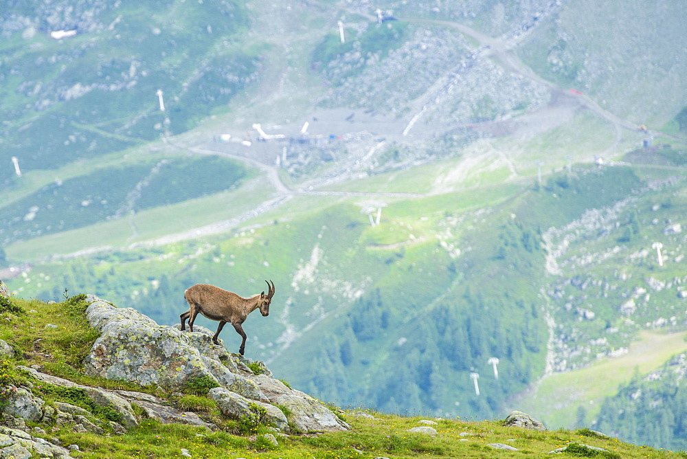 Alpine Ibex (Capra ibex) on the edge of a cliff, Lac Blanc, Mont Blanc, France, Europe