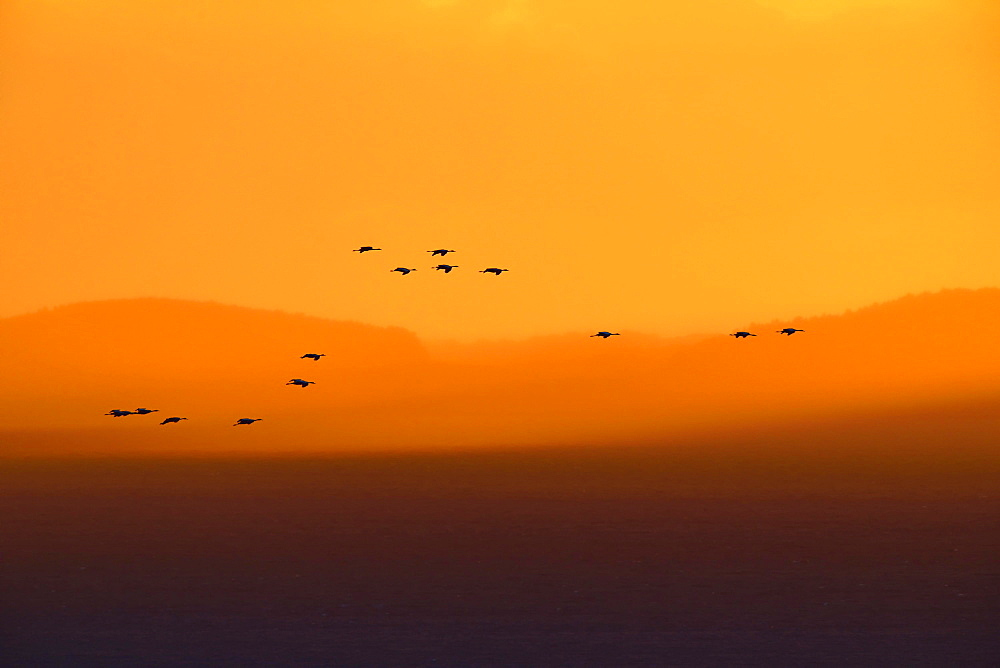 Cranes (Grus grus), silhouettes in the evening light over the island of Rügen, Mecklenburg-Western Pomerania, Germany, Europe