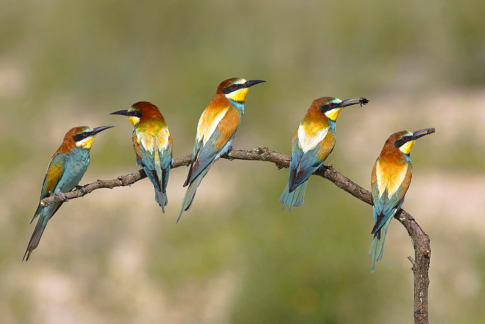 European bee-eaters (Merops apiaster), five birds are sitting on branch, National Park Lake Neusiedl, Burgenland, Austria, Europe