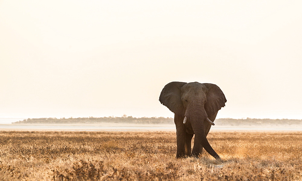 Elephant walking over the dry grasslands, African Elephant (Loxodonta africana), Etosha National Park, Namibia, Africa