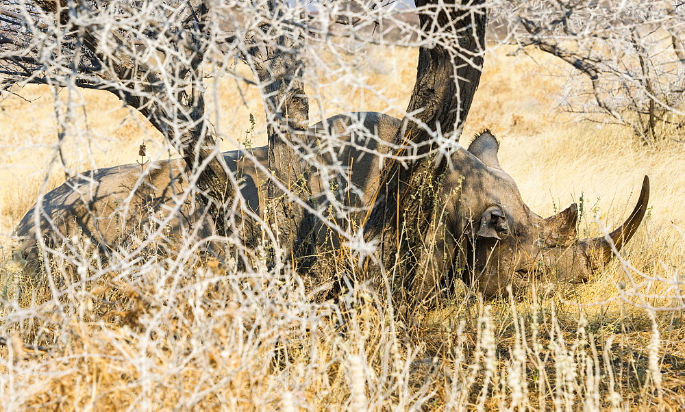 Black Rhinoceros (Diceros bicornis) sleeping camouflaged in the bushes, Etosha National Park, Namibia, Africa