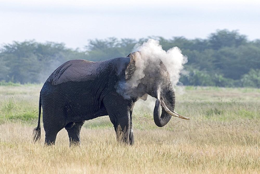 African elephant (Loxodonta africana) covers with dust, behavior, Amboseli National Park, Kenya, East Africa, Africa