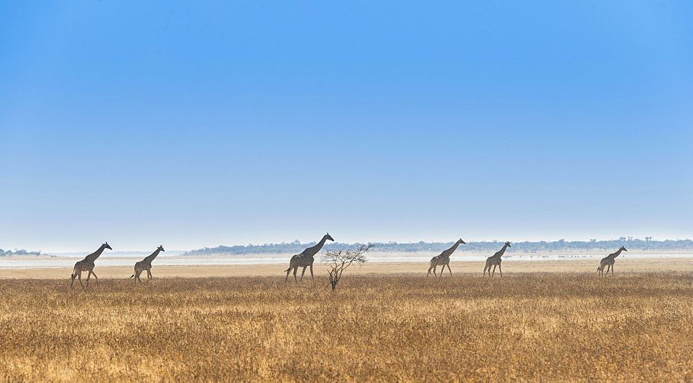 Giraffes (Giraffa camelopardis) walking through the dry grass, Etosha National Park, Namibia, Africa