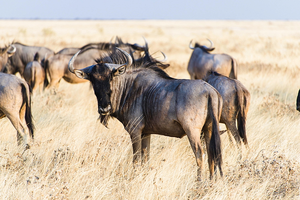 Herd of Blue Wildebeest on prairie grass (Connochaetes taurinus), Etosha National Park, Namibia, Africa
