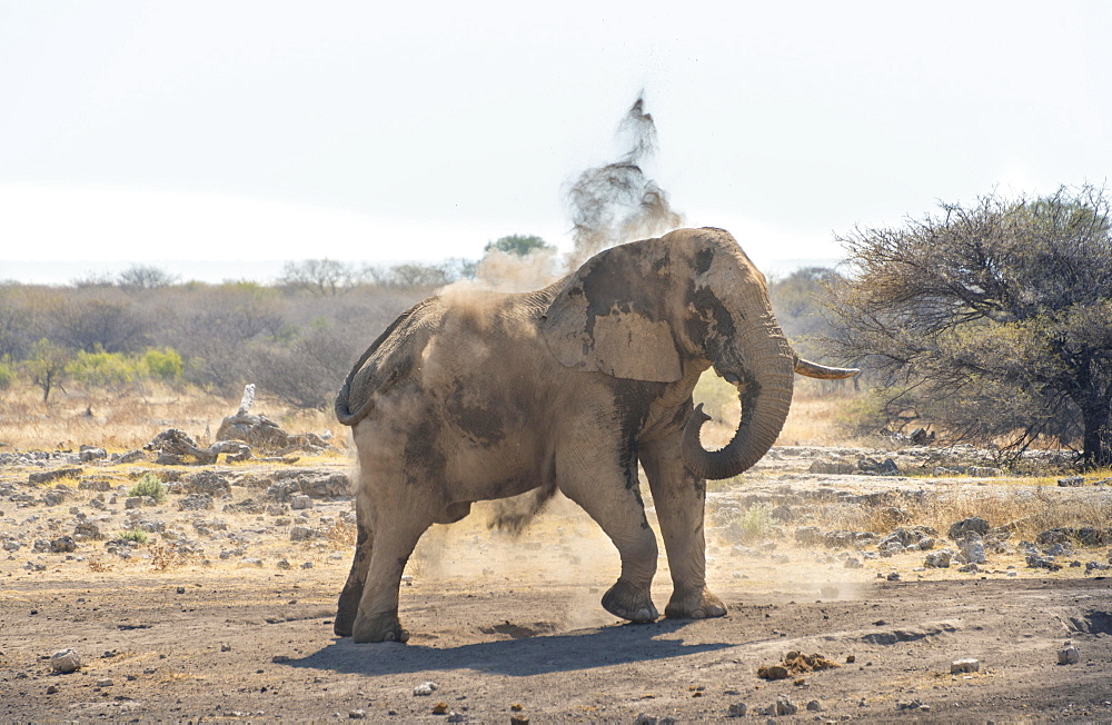 African Bush Elephant (Loxodonta africana) taking a dust bath, Koinachas waterhole, Etosha National Park, Namibia, Africa