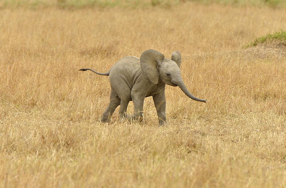 African Bush Elephant (Loxodonta africana), calf, Massai Mara, Rift Valley Province, Kenya, Africa