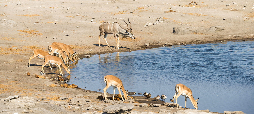 Herd of Black-faced Impalas (Aepyceros melampus petersi) and greater kudu (Tragelaphus strepsiceros) drinking, Chudop water hole, Etosha National Park, Namibia, Africa